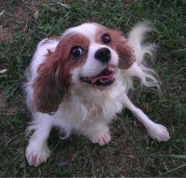 Adopt Kiki On King Charles Spaniel Spaniel Dog Dogs