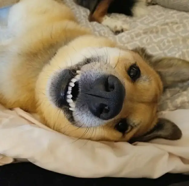 50 Sets Of Dog Teef That Will Instantly Make Your Day Better I Guarantee It Dogs Dog Love Smiling Dogs