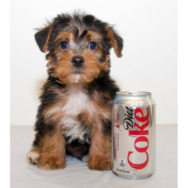 Tea Cup Yorkie Poo I D Love It Hug It Take It With Me Everywhere And He Has A Diet Coke I Think Its A Sign Yorkie Poo Yorkshire Terrier