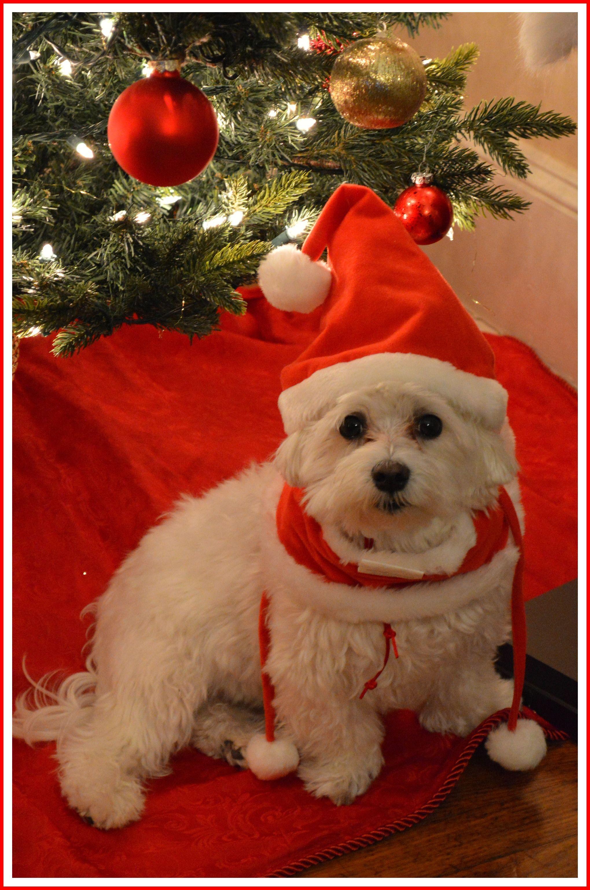 My little santa teacup puppies maltese maltese puppy