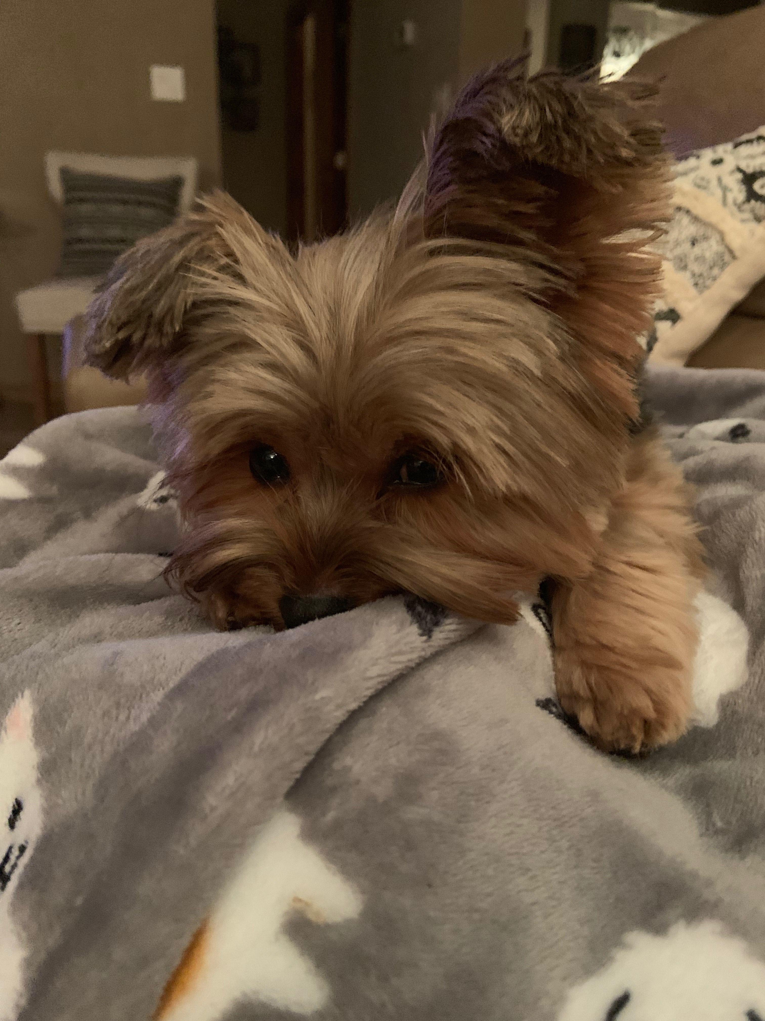 Pin By Wendy Vandermaas On Puppy Love Yorkie Dogs Yorkie Lovers