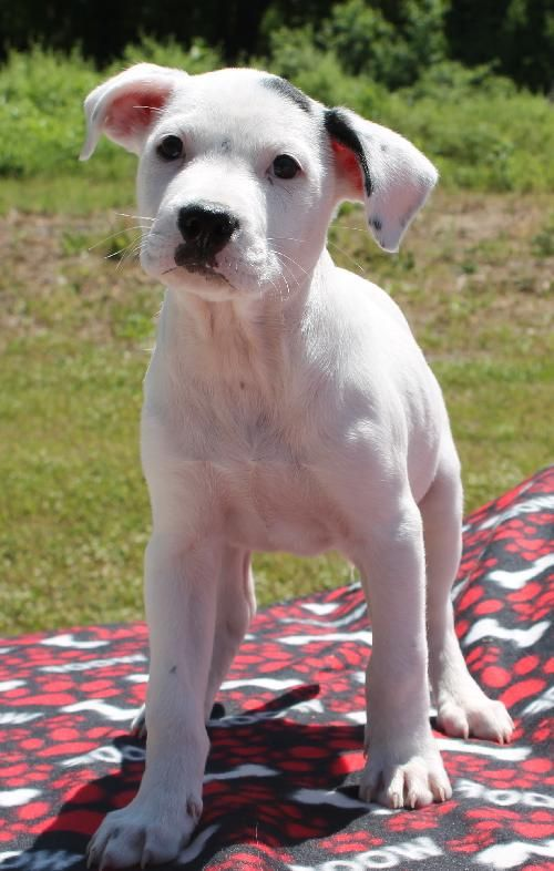 Meet Ozzie 20250 A Petfinder Adoptable American Bulldog Dog