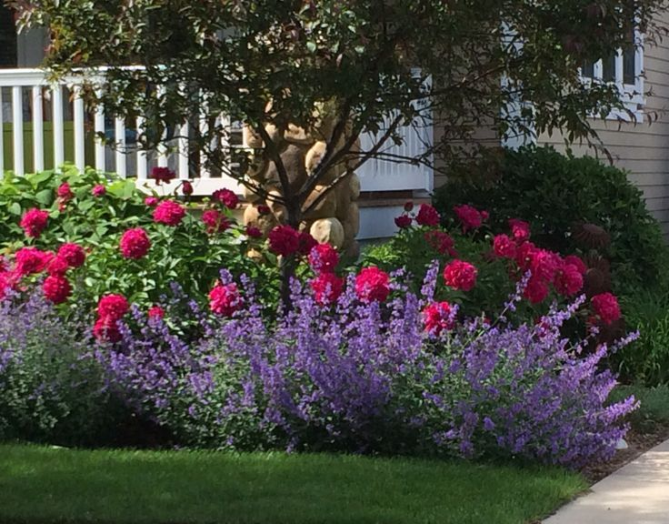 Knock Out Roses And Salvia Shrub Companions Garden Knockout