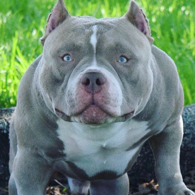 So You Want To Become An American Bully Breeder Bully King Magazine American Bully Dog Breeding Business Pitbull Facts