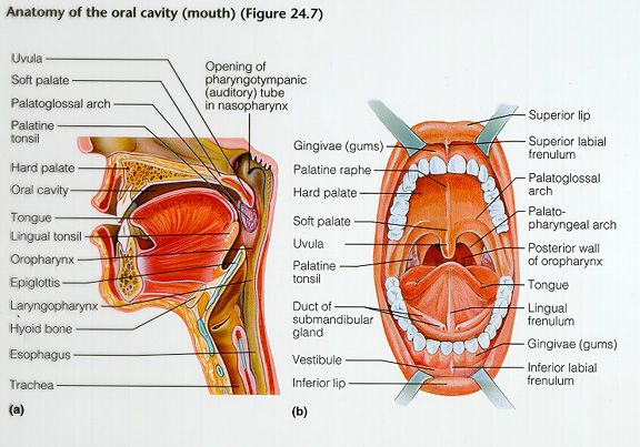 oral anatomy diagram | Anatomy of the oral cavity | oral anatomy ...