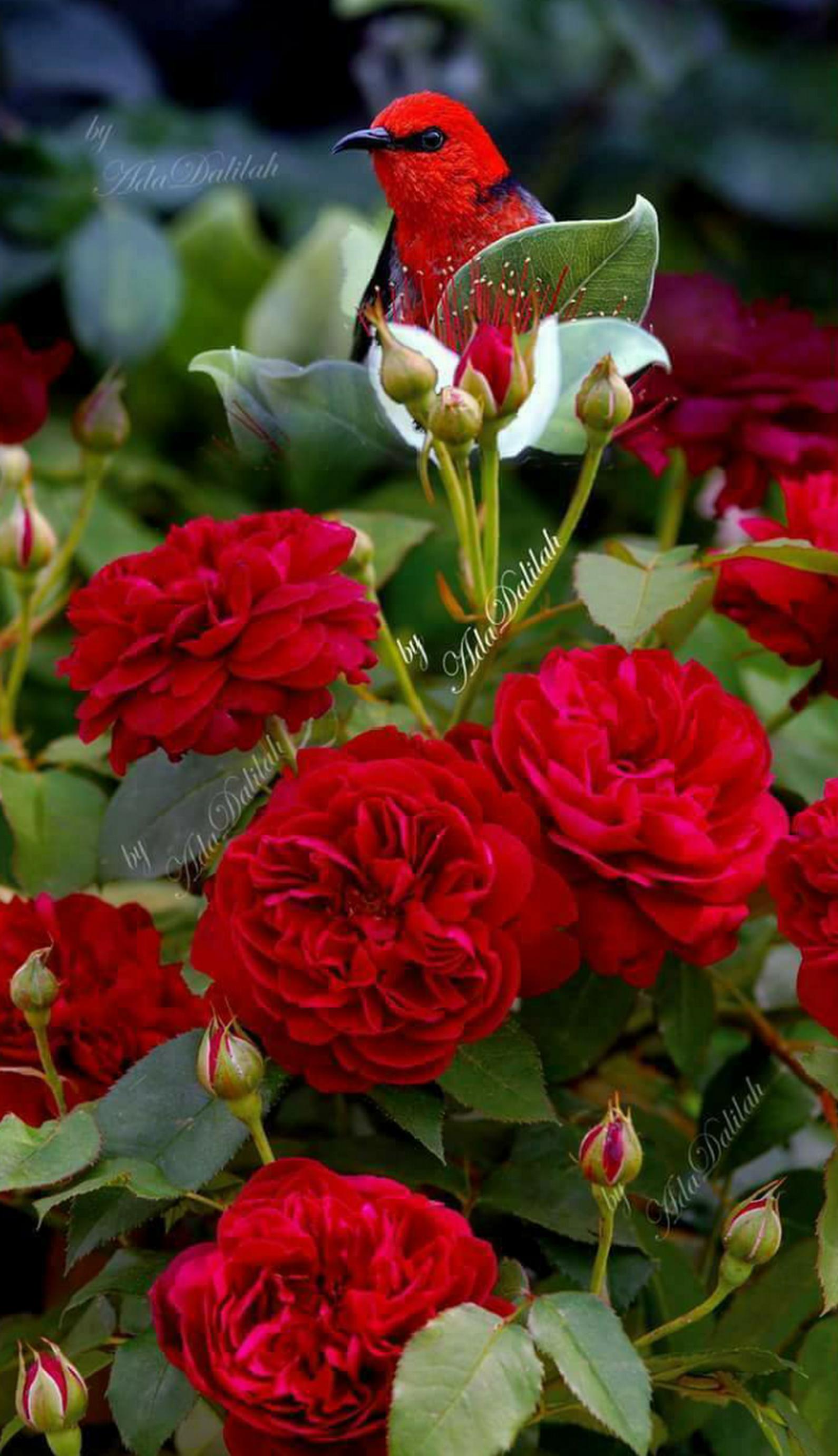 Pin By K Kloberdans On Hidden In 2020 Beautiful Rose Flowers Flying Flowers Beautiful Red Roses