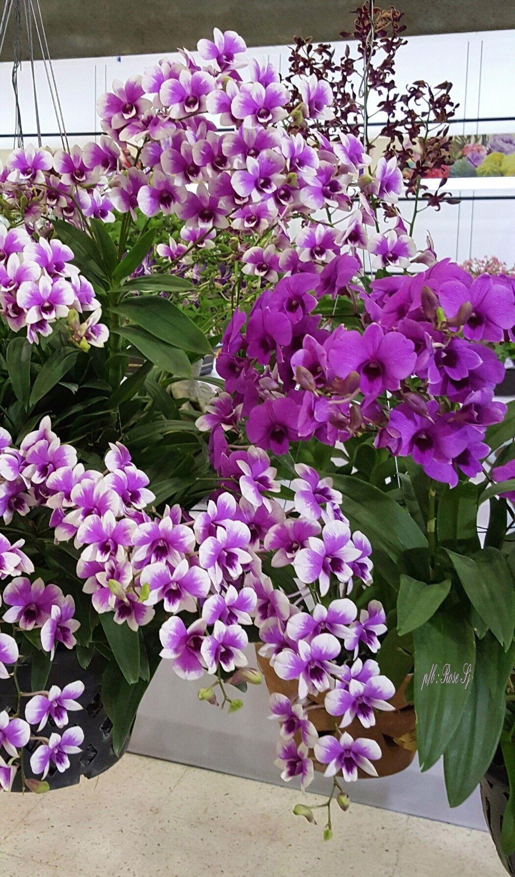 Dendrobium Orchids.