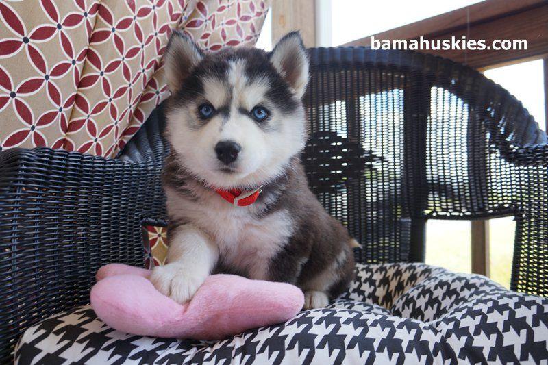 Husky Puppy Luna Went Home Today Bama Huskies Bama Huskies