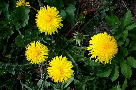 Dandelion Schnapps Made From The Flower Heads Has A Fresh And Very Aromatic Taste Made From The Roots You Get Anoth Schnapps Recipe Dandelion Dandelion Flower