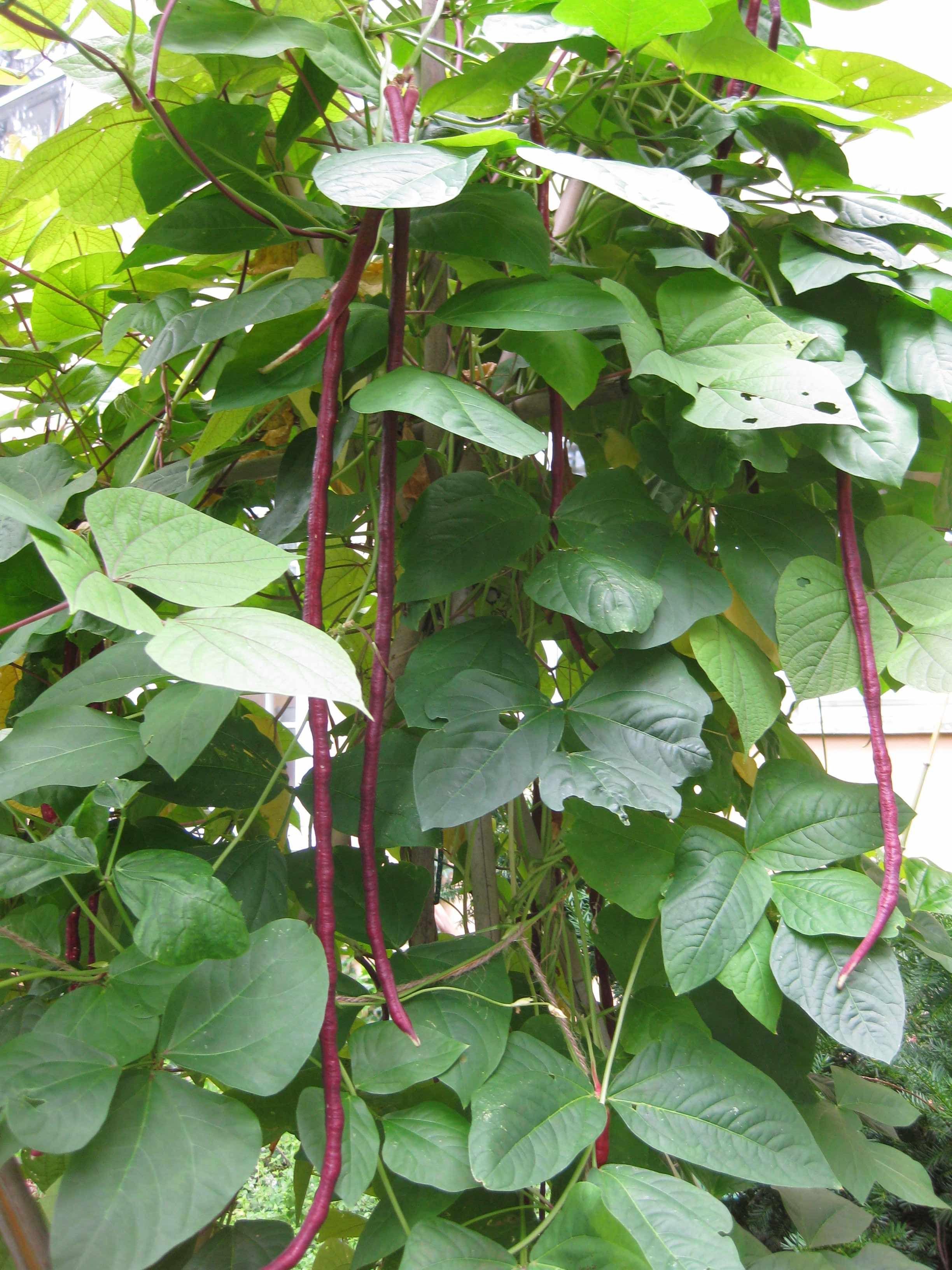 Red Yard Long Bean plant