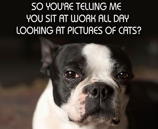 Boston Terrier with Funny Captions There is only one ...