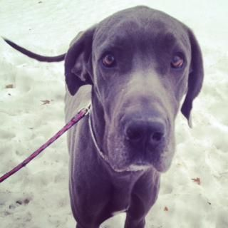 Adopt Winston The Dane On Petfinder Great Dane Dogs Great Dane Dane