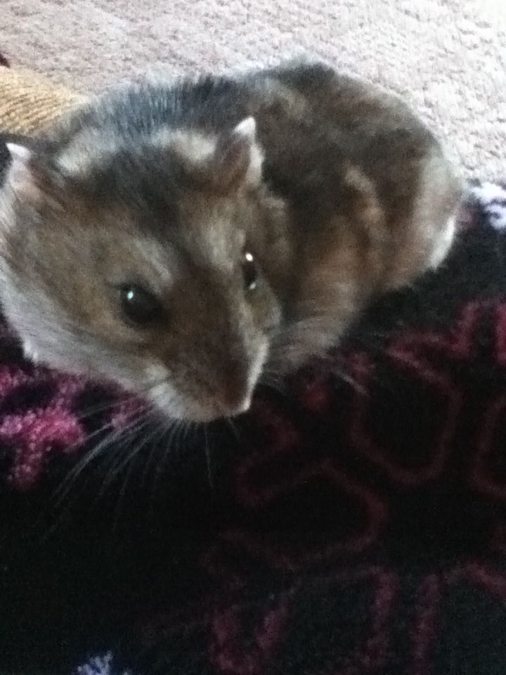 My Winter White Russian Dwarf Hamster