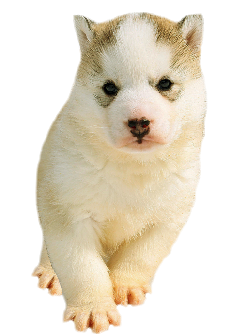 Husky Puppy Transparent Background Husky Puppy Puppies Husky