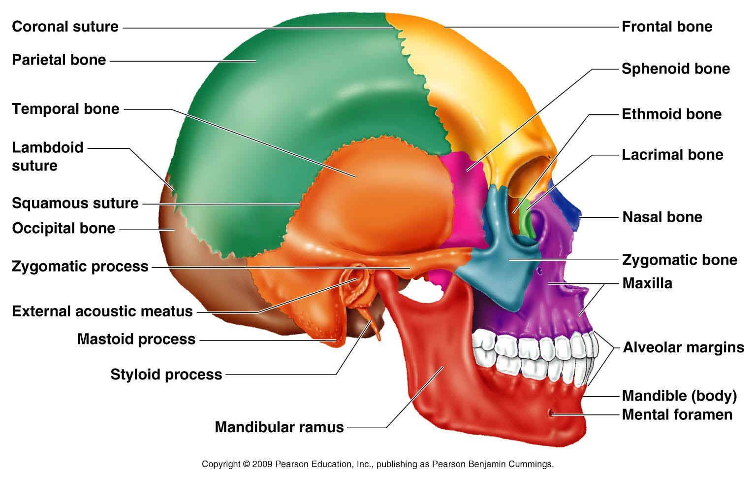 Human Anatomy Pearson Blank Skull Anatomy Of The Skull Bones