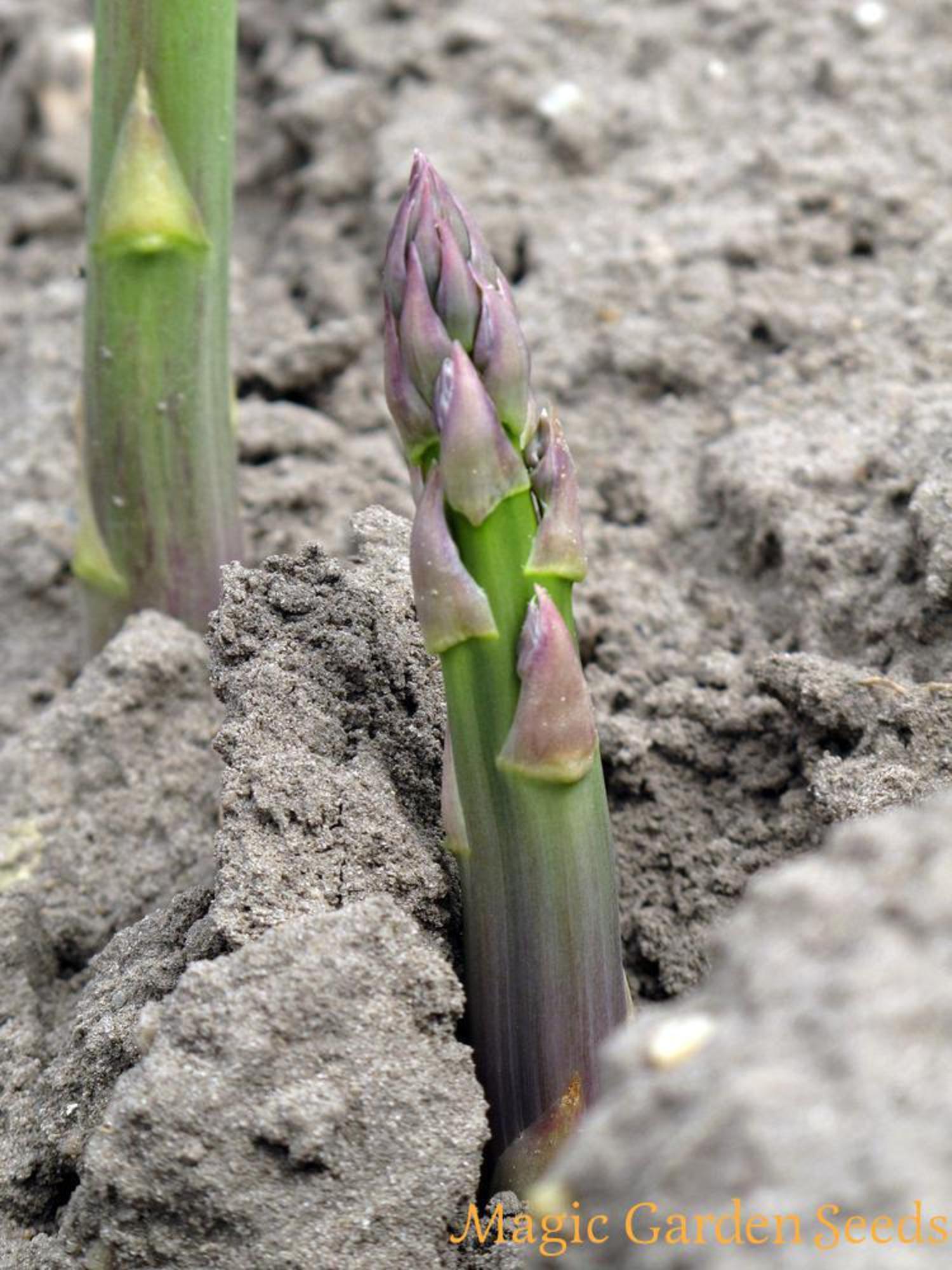 Pin Auf Spargel Samen