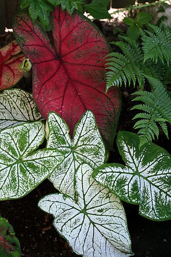 Caladiums Elephant Ear Plant Plants Elephant Ears