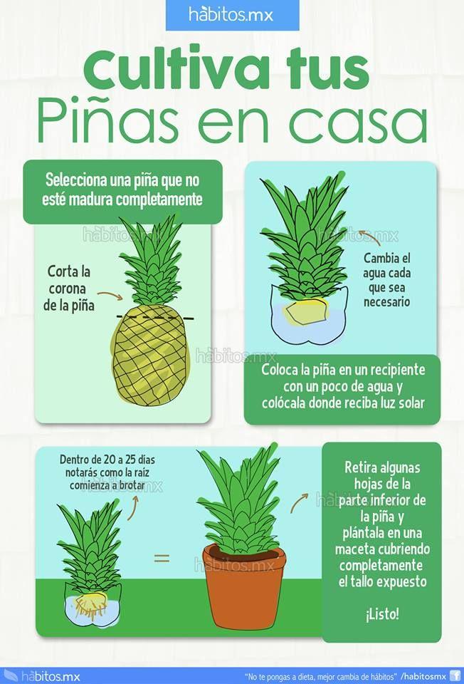 How to make pineapples grow cultivar zanahoria pinterest Cultivar vegetales en casa