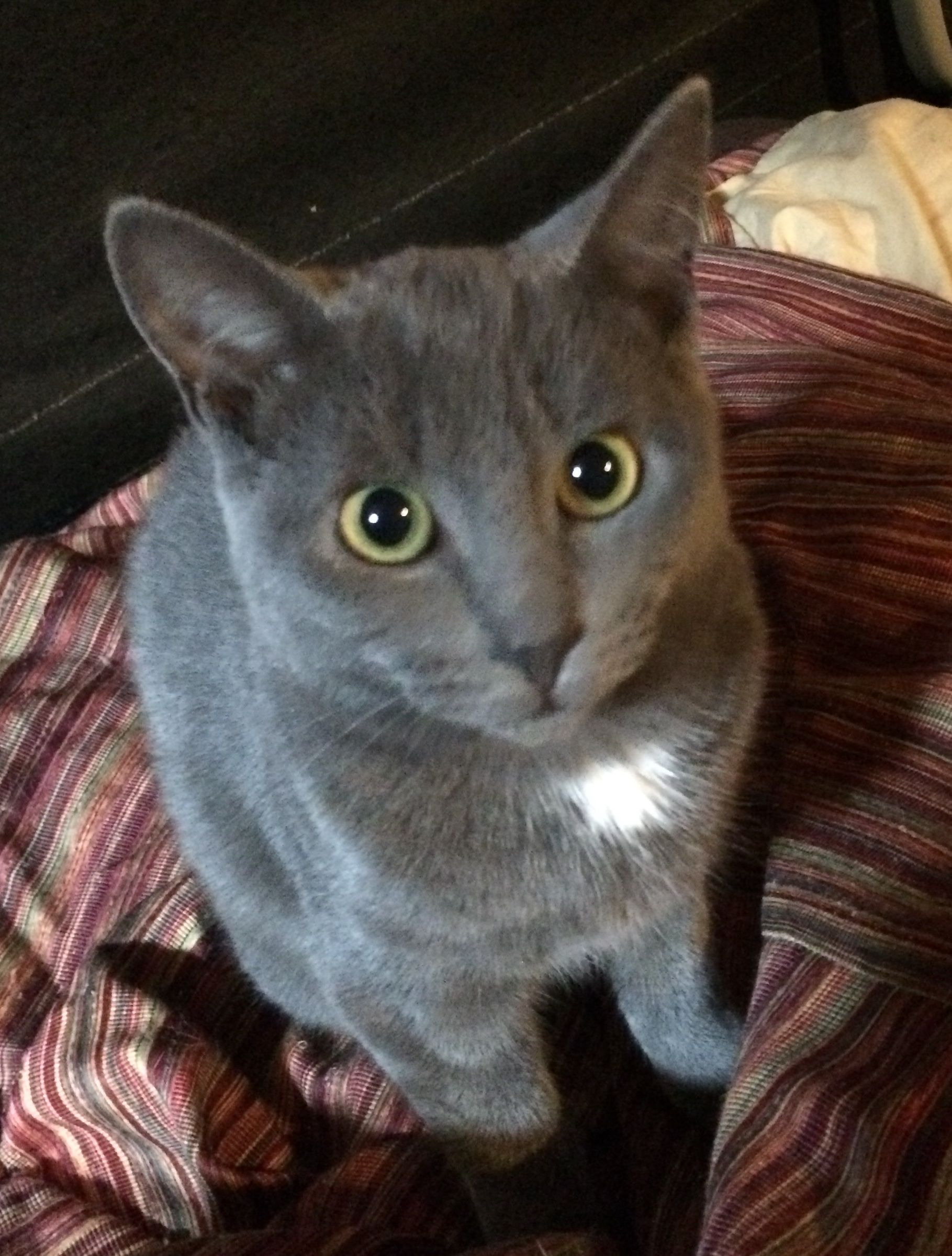 Adopt Delphinia 9 Mos On Petfinder Cute Cats And Kittens Russian Blue Cat Russian Blue