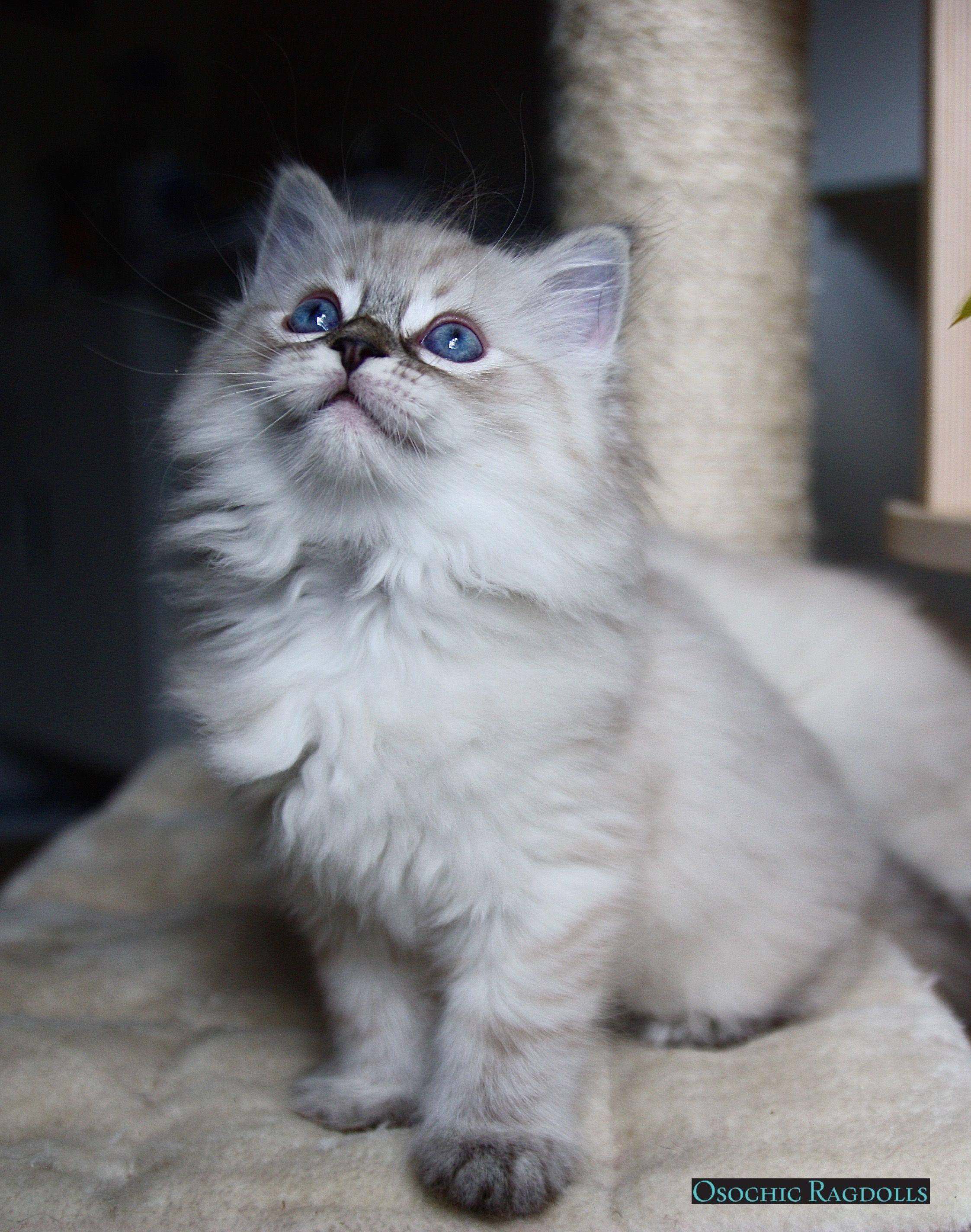 Ragdoll Kittens Available Ragamuffin Cat Ragdoll Kitten Cool Cats