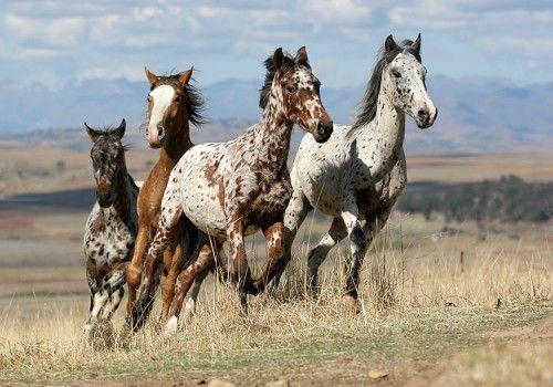 appaloosa | Appaloosa Mustang paard Paarden (met afbeeldingen ...