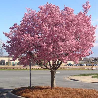 Okame Cherry Tree Flowering Trees Lilac Tree Cherry Tree