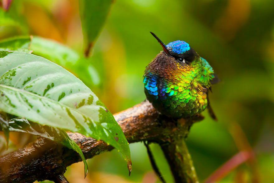 colibri-insigne-branche-vert