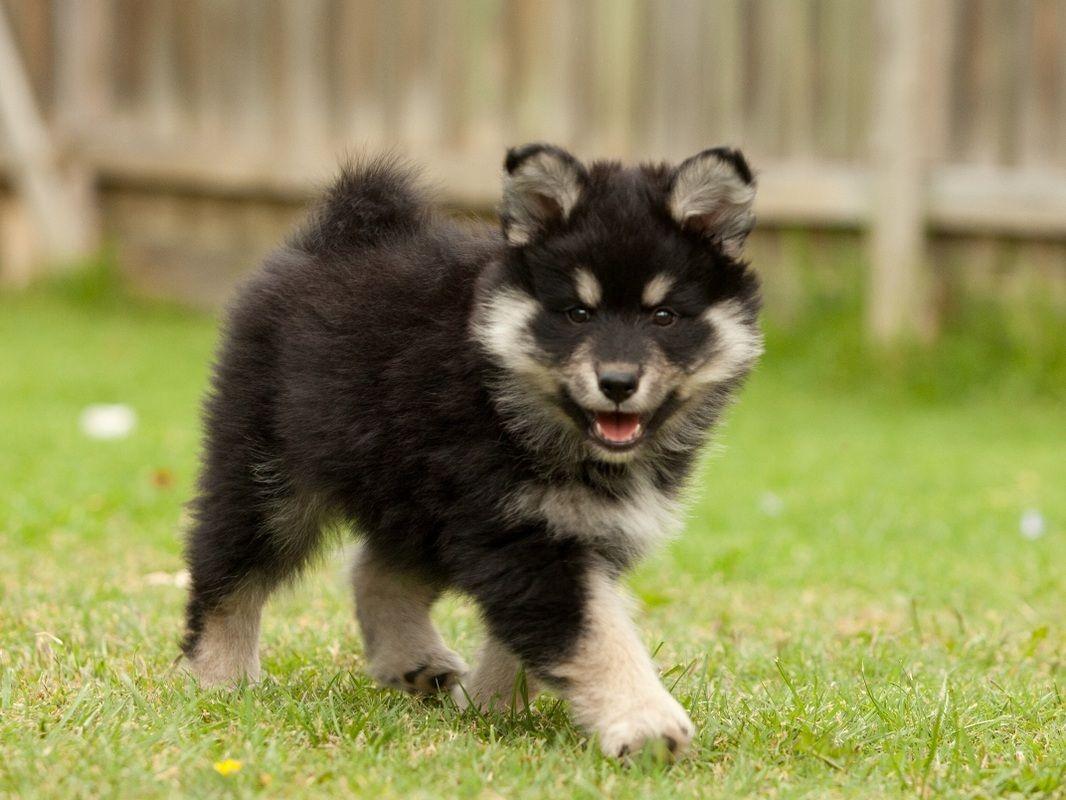 Finnish Lapphund Dog Breeds Calm Dog Breeds Dog Breeds That