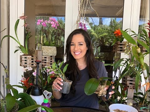 Photo of How to Mount Phalaenopsis Orchids on Trees, Orchid Care, Orchid Diva