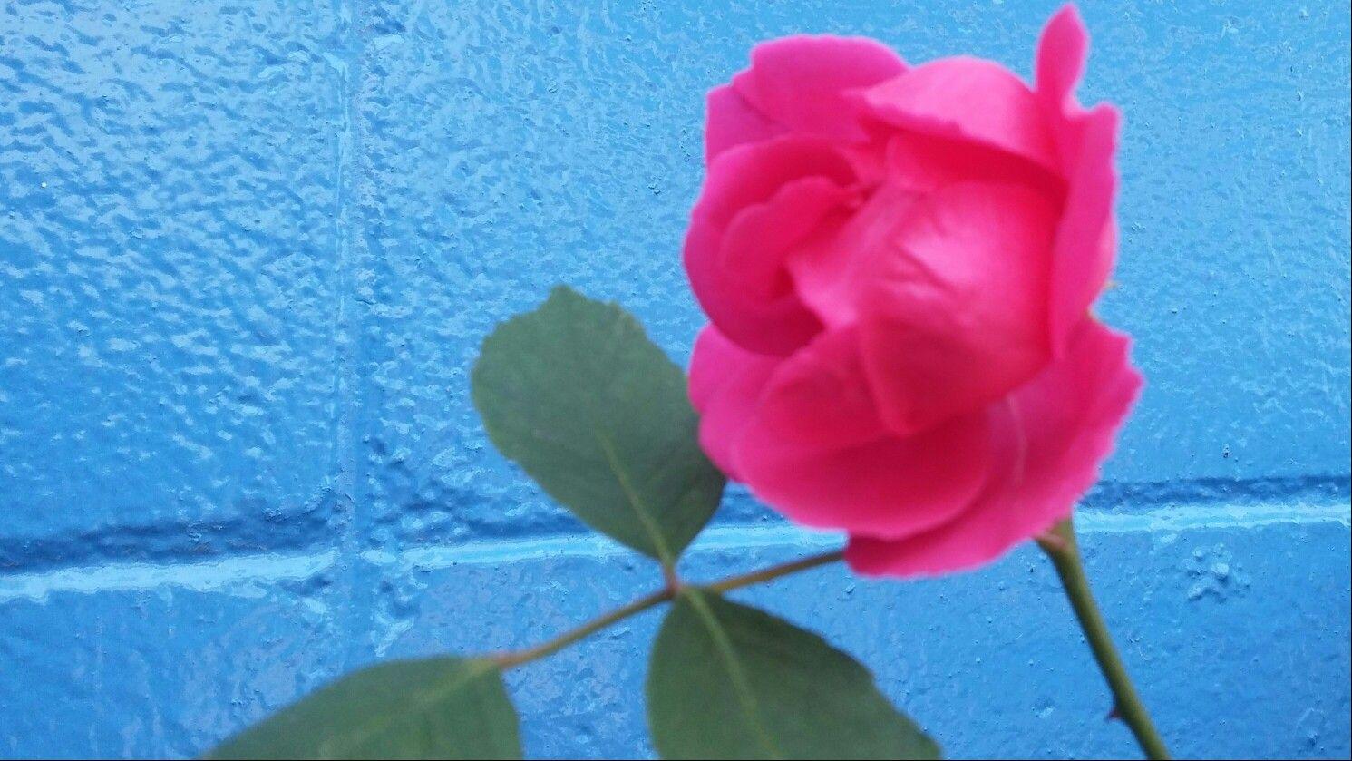 주유소 파란 벽에 피어난  빠알간 장미
