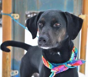 Kansas Taylor Is A Spayed 3yo Black Labrador Retriever Pointer