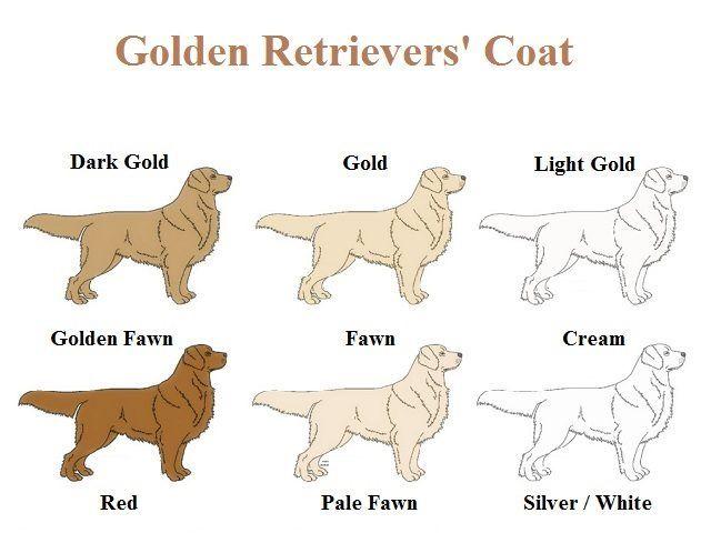 Golden Retrievers Coat Golden Retriever S Colorful Coat Golden Retriever