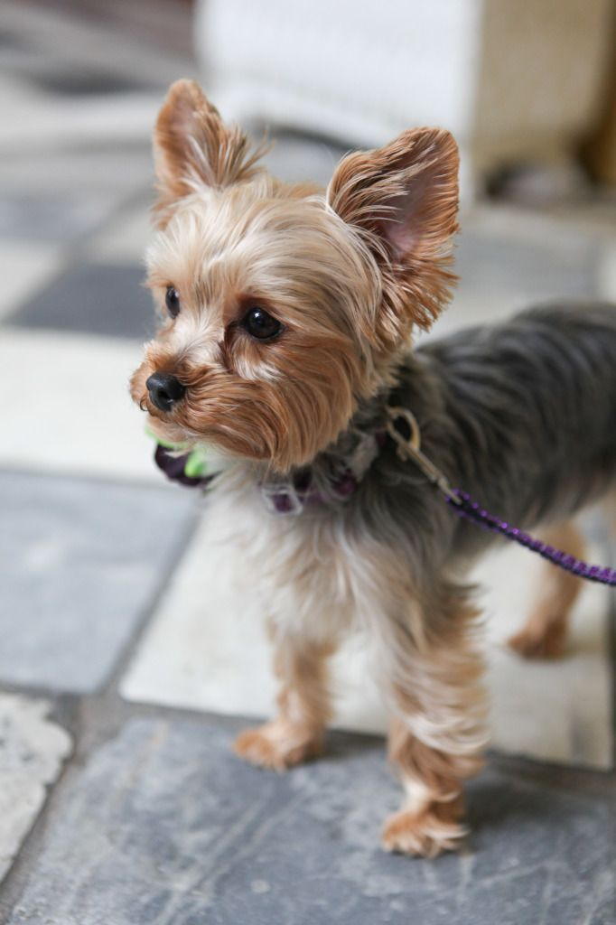 Our Favorite Accessory of 2014 Miss Ellie the Yorkie Pup