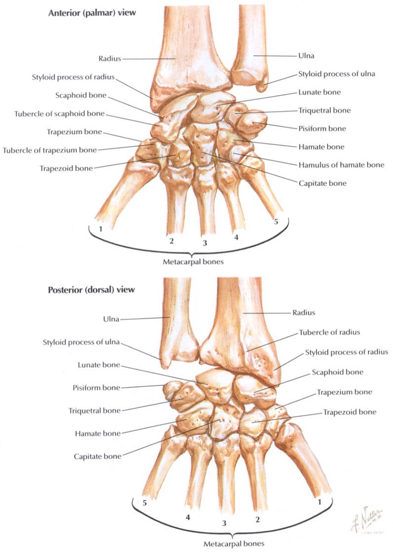 Carpal Bones Posterior And Anterior View Quantum Anatomy Pinterest