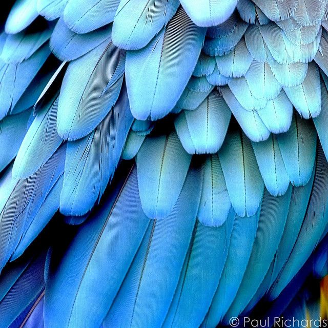 moire | Birds and Animals | Pinterest | Blue macaw, Blue ...