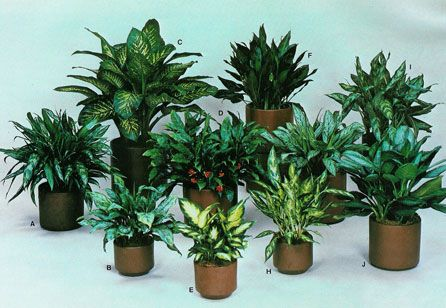 These Plants Need Low Light Low Humidity Aglaonema