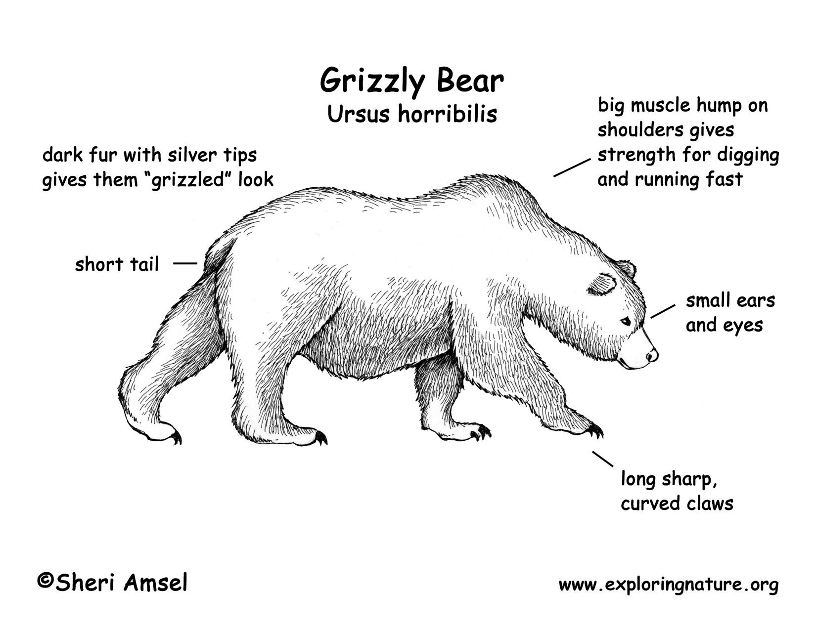 Body Diagram Of Polar Bears