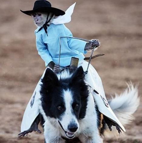 Cowboy Monkeys Riding Dogs The Video You Have To See Rodeo Riding Whiplash