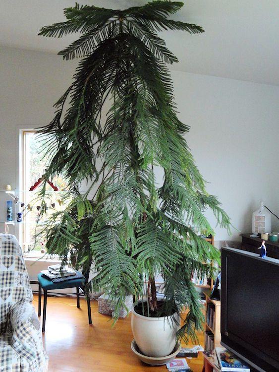 Araucaria heterophylla - Norfolk Island Pine | Indoor trees ... on