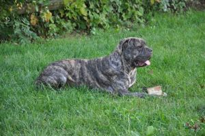 Duke is an adoptable Mastiff Dog in Willingboro, NJ. Duke and Jake are both mastiff's who are only a year old.  If you are interested in adopting one of them please email barbfriel@msn.com,     Intere...
