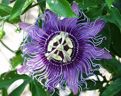 Passion Flower University Of Florida Institute Of Food And Agricultural Sciences In 2020 Passion Flower Flowers That Attract Butterflies Perennial Flowering Vines