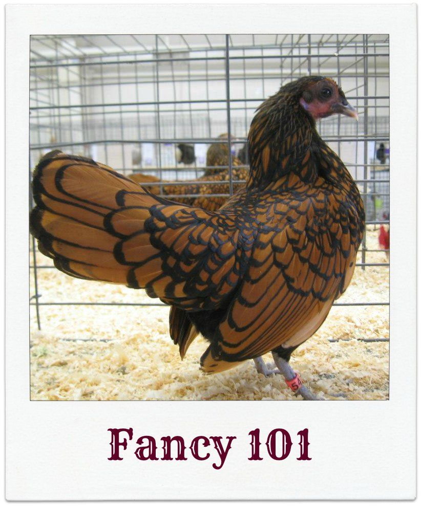 beginner u0027s guide to showing poultry poultry show central