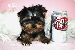 California Yorkies Yorkies For Sale Northern Ca Yorkie Puppy For Sale Yorkie Puppy Yorkshire Terrier