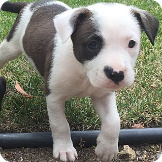 Santa Monica Ca Staffordshire Bull Terrier Border Collie Mix Meet Chloe A Puppy For Adoption Puppy Adoption Cute Baby Animals Dog Adoption
