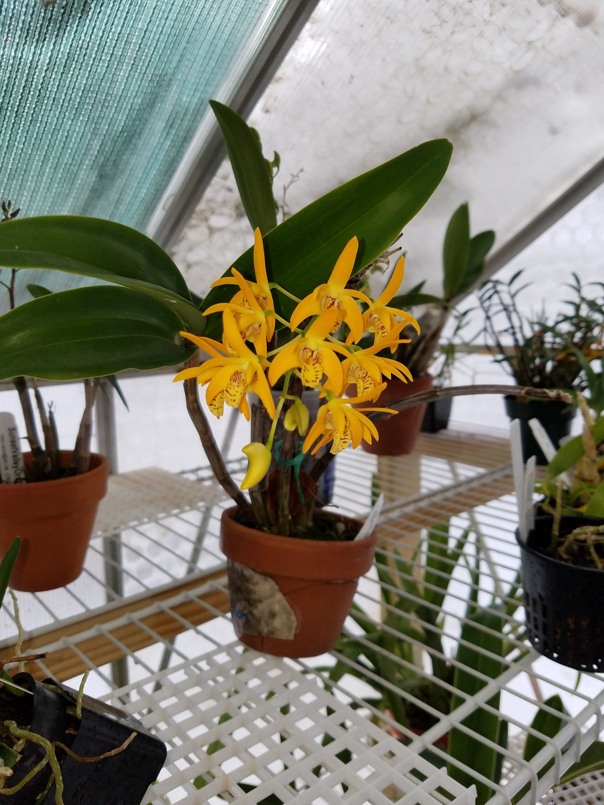 Dendrobium Gillieston Gold Natalie Am Aos Orchids Growing Orchids Paphiopedilum