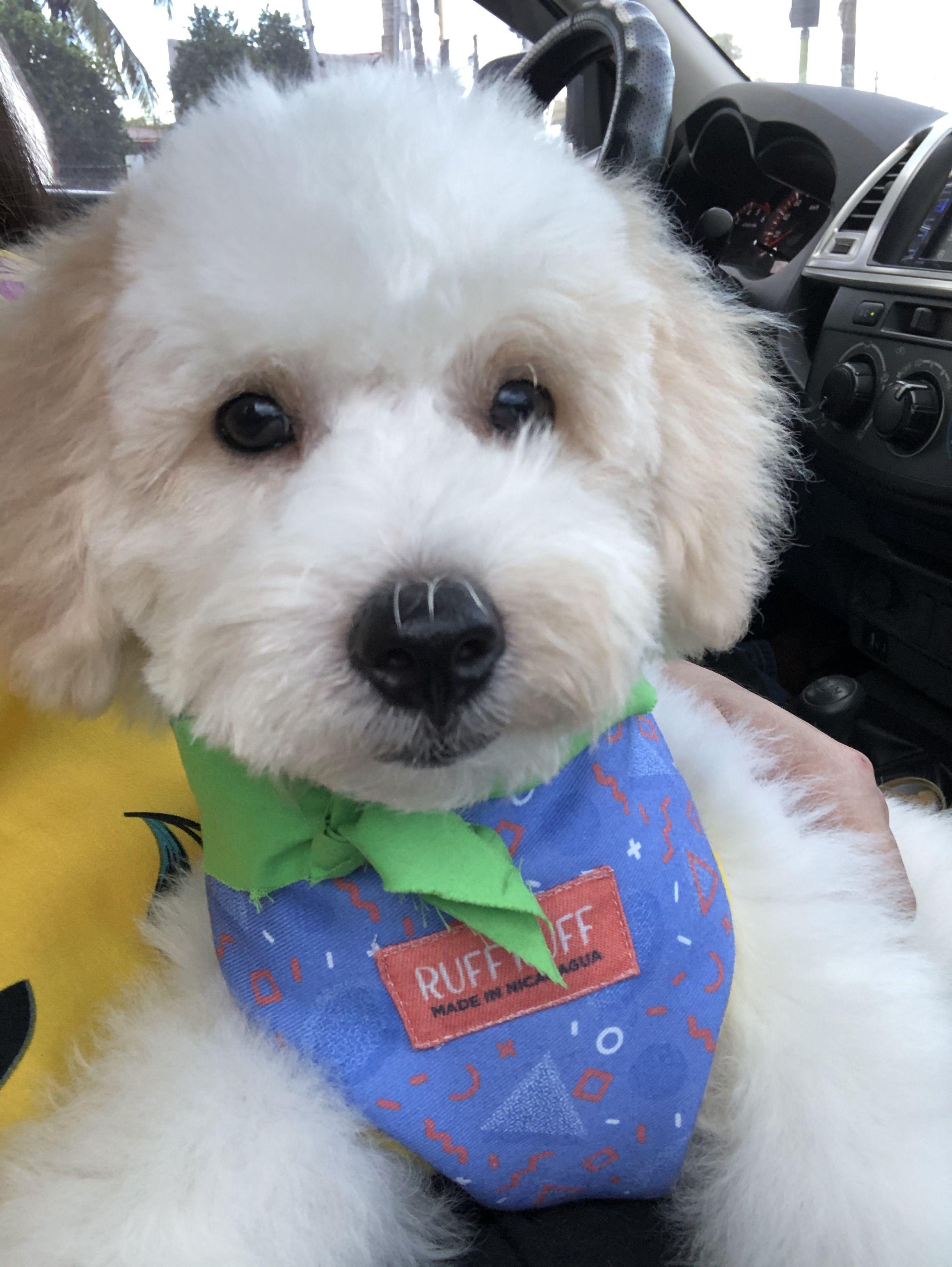 #dogsofinstagram #poodle #whitepoodle