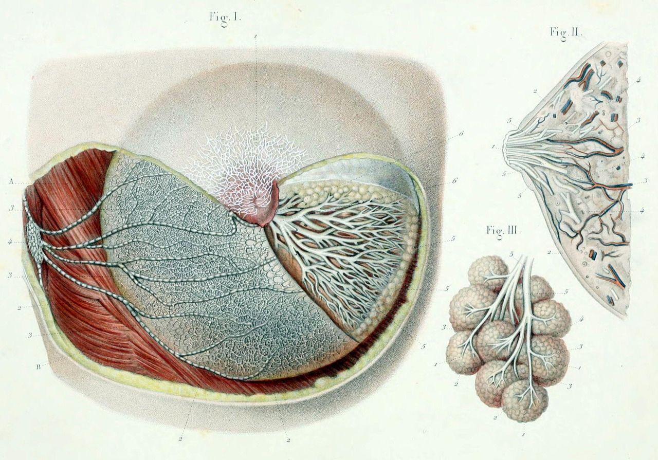 "biomedicalephemera: "" Top: Primary mammary blood vessels, deep ..."