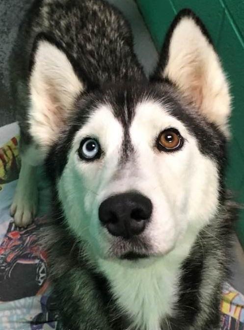 Adopt Dakir On Malamute Husky Siberian Husky Rescue Husky
