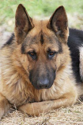 Shepherd Stock Photos Photography And Royalty Free Shepherd Images 500px Prime German Shepherd Dogs German Shepherd Puppies German Shepherd Pictures