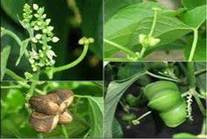 Planta Sacha Inchi